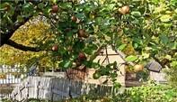 Der Apfel – Kultur mit Stiel